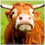 Portraits de vaches